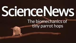 The biomechanics of tiny parrot hops | Science News