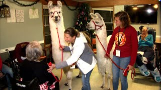 Texas Rehab Residents Find Comfort in Therapy Llamas