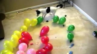 Cães e gatos que AMAM balões!