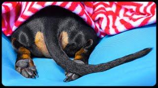 Dachshund winter hibernation! Cute and funny dog video!