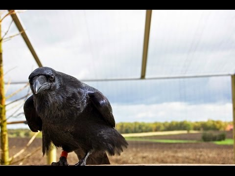 Ravens just as clever as chimps despite having mini brains