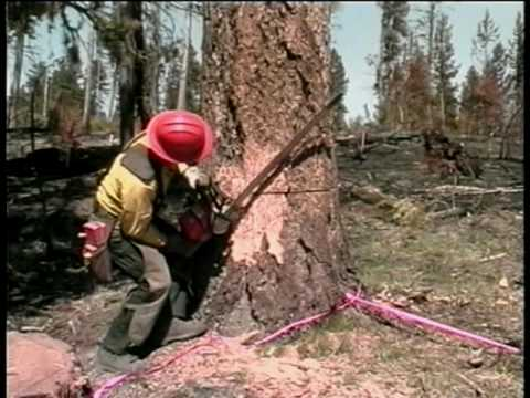 Wildland Fire Chain Saws - Part 8 - Tree Falling