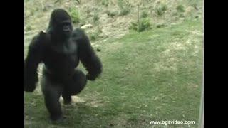 Scroll 1:41 Gorilla Walks/Runs Upright Like a Man (long)