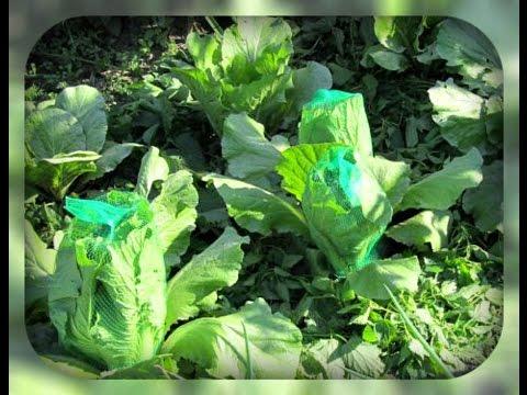 Не завязывается капуста – ПОЧЕМУ и что делать?