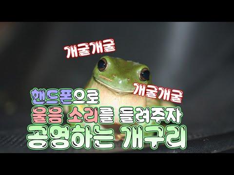 핸드폰으로 울음소리를 들려주자 공명하는 개구리