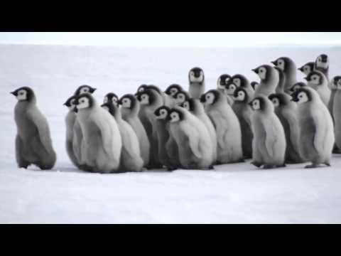 Baby Emperor Penguins!
