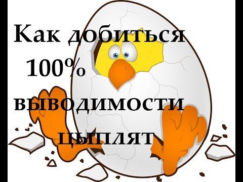 Секрет успешной инкубации яиц или 100% вывод цыплят