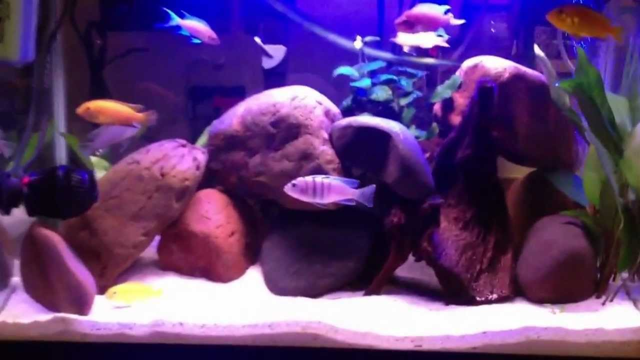 20 gallon cichlid tank youtube 20 gallon mbuna cichlid for How many gallons in a fish tank calculator