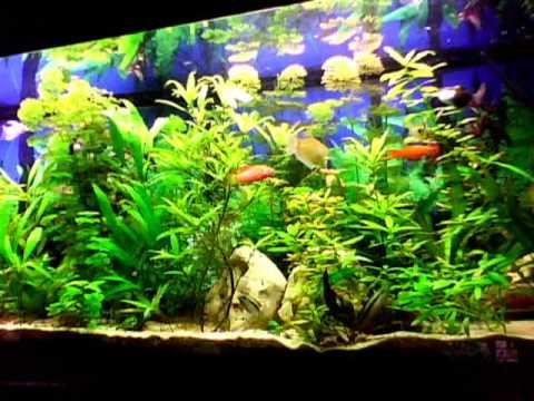 360l cichlides nains youtube for Aquarium 30l combien de poisson rouge