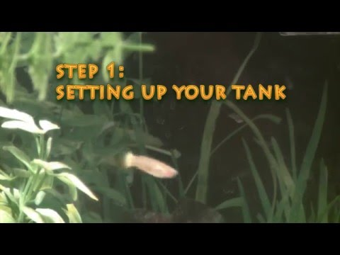 How to Breed Guppies - Easy HD Video Download