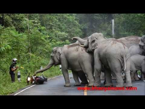 elephant herd attacks motorbike