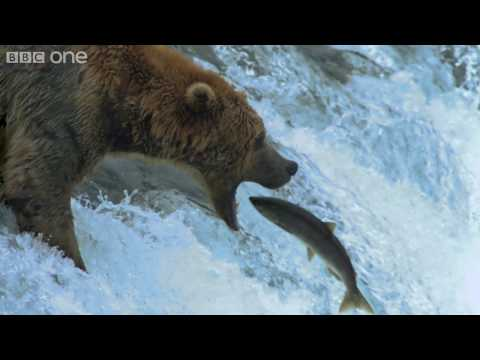 HD: Grizzly Bears Catching Salmon - Nature s Great Events: The Great Salmon Run - BBC One