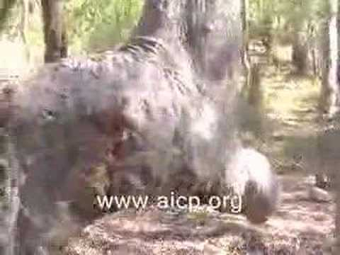 Miracle Of Allah - Praying Tree Facing Makkah video