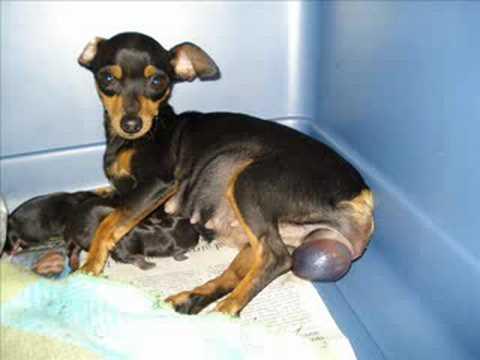 Nacimiento  perros  pinscher ,Nascimento pinscher cães Music Videos
