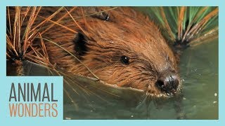 Special Needs Beaver Goes Swimming!