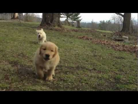 Goldens having fun on a early Vermont spring day at Sun Bear Farm ...