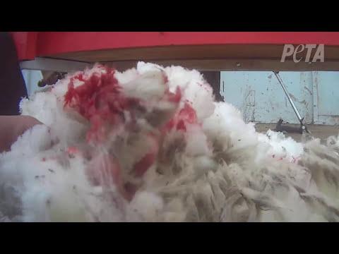 Ovejas asesinadas, dejadas morir para que EE.UU. obtenga lana