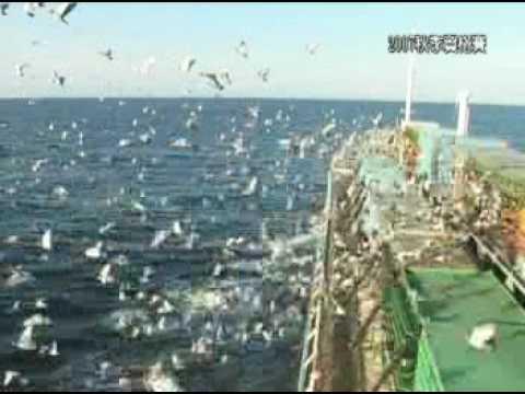 Pigeon Oceanic  Racing 2 - Taiwan 北海賽鴿
