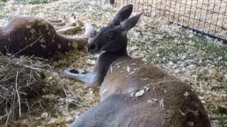 Escaped kangaroo surprises farmers in Wisconsin