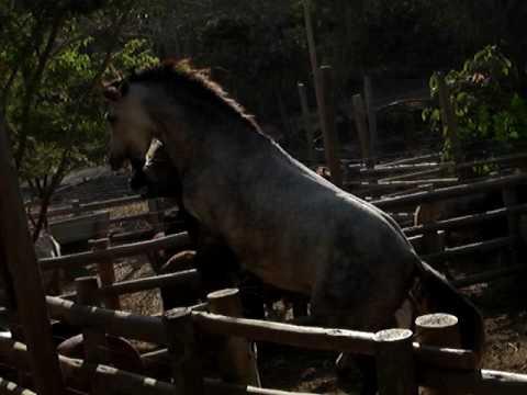 pelea de caballos