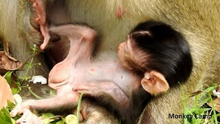 Why mum put her baby lie-down like this? Why fly always come to baby monkey? Monkey Camp Part 2390