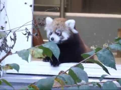 リリィ&ライラの赤ちゃん時代☆円山動物園レッサーパンダ
