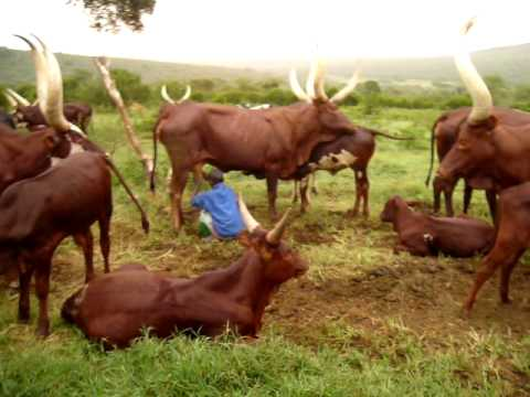 Ankole Cattle Conservation