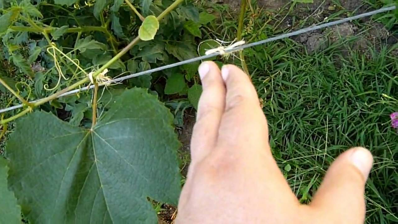 How to train grape vines youtube - How to prune and train the grapevine ...