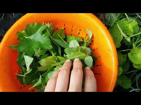 Зелень для смузи | Дикоросы в зеленый коктейль | Дневник здоровья Светы Гончаровой