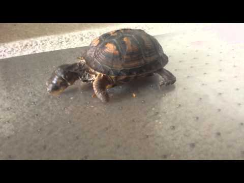 Eastern box turtle eating meal worms