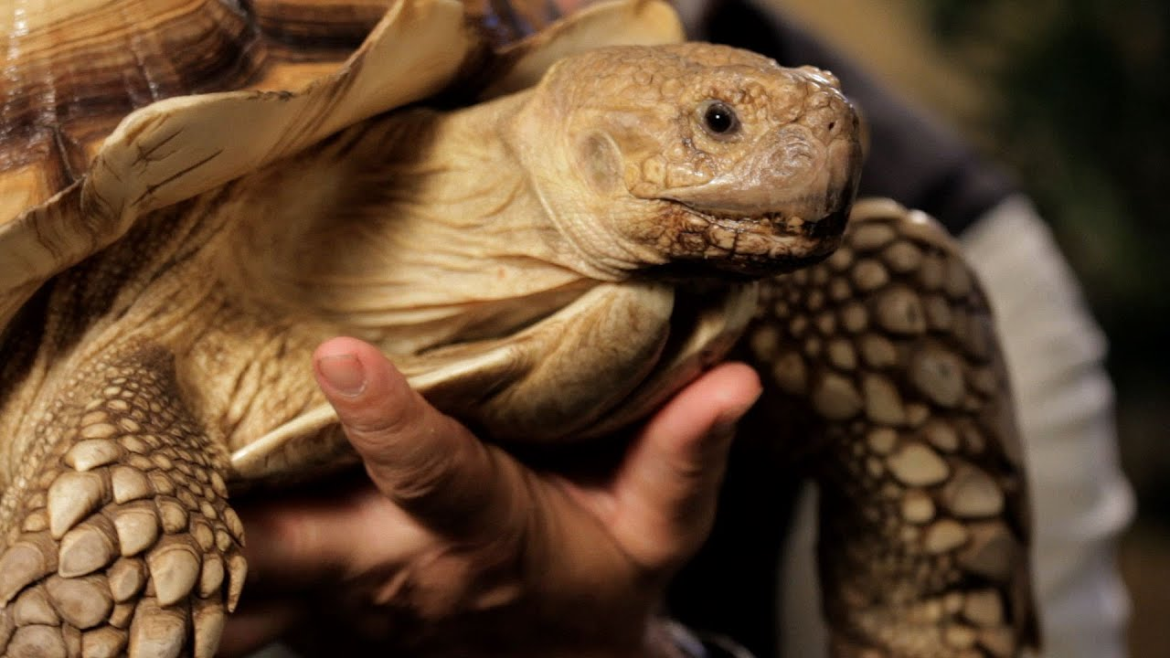 7 cool facts about sulcata tortoise pet reptiles   youtube