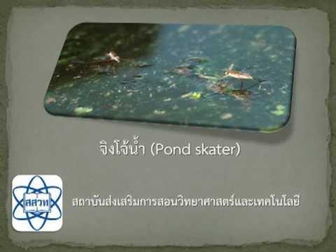 จิงโจ้น้ำ (Pond Skater)