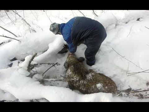 Охота на кабана.(Зима 2018)
