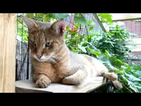1 Year-Old F1 Chausie Cat