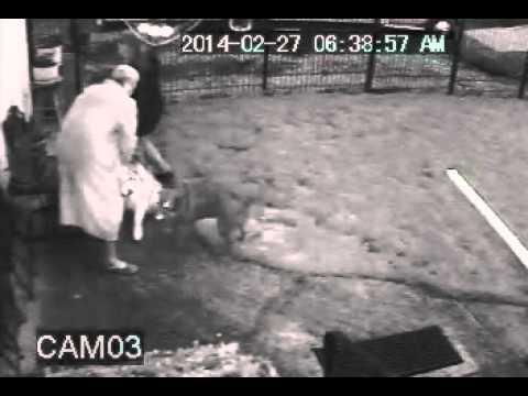 Alaskan Malamute slams pitbull mix