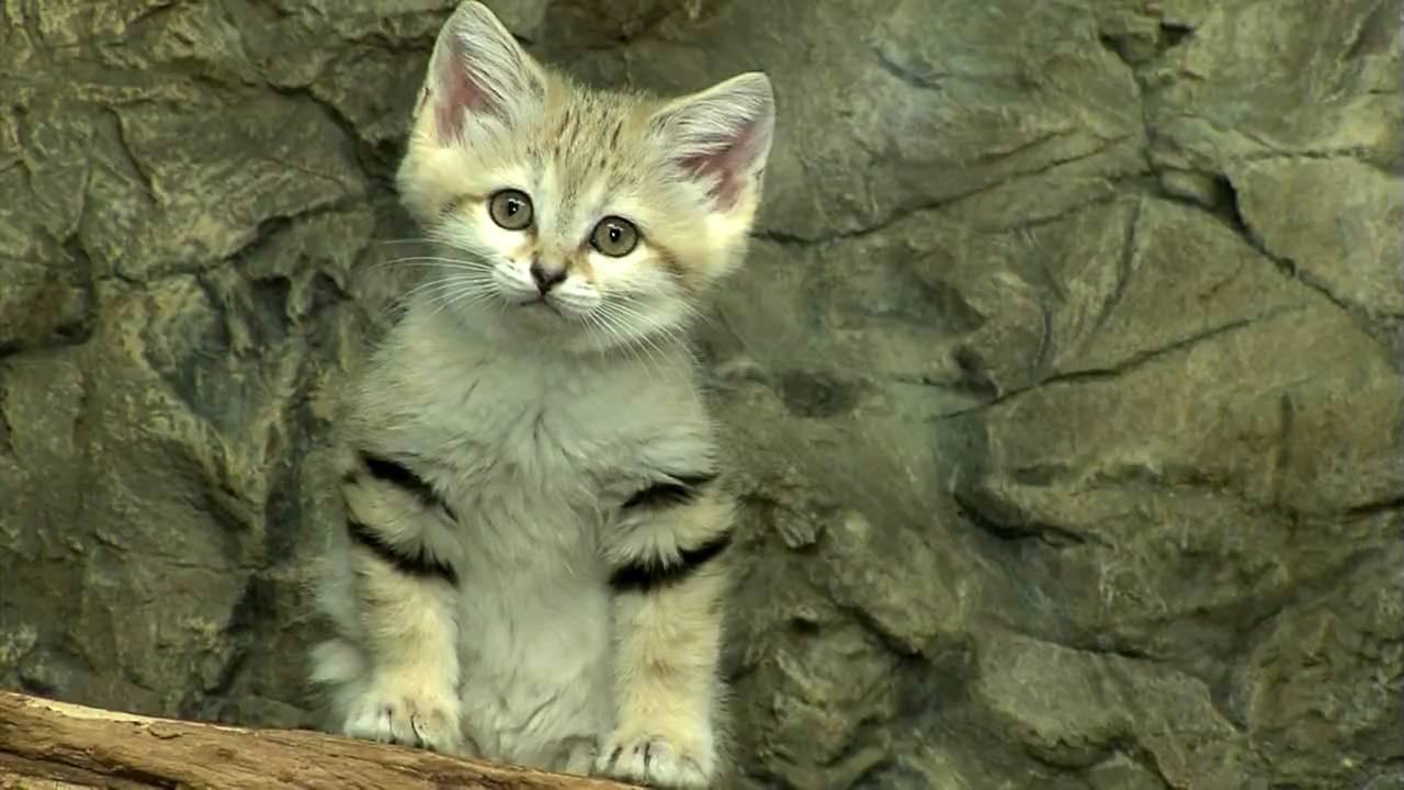Sand Cat Kittens-Cincinnati Zoo - YouTube