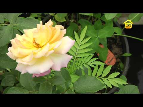 Видео как ухаживать за розами