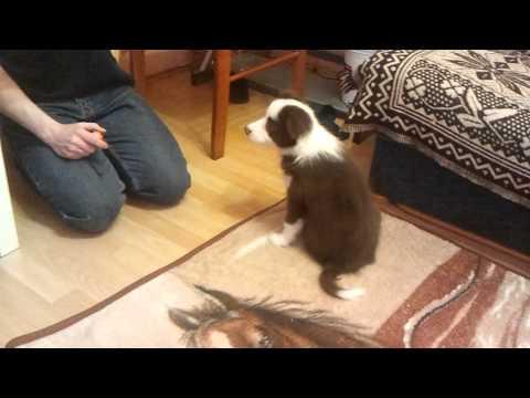 Border Collie Nuta first tricks
