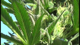 Eugene Cannabis TV #550 – ectv.550.2014-10-15