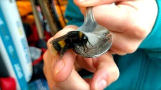 Another Bumble Bee Rescued! Filmed in 4k.