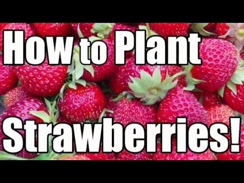 How to Plant & Grow Bare Root Strawberries (Day-Neutral Tristar Strawberries)