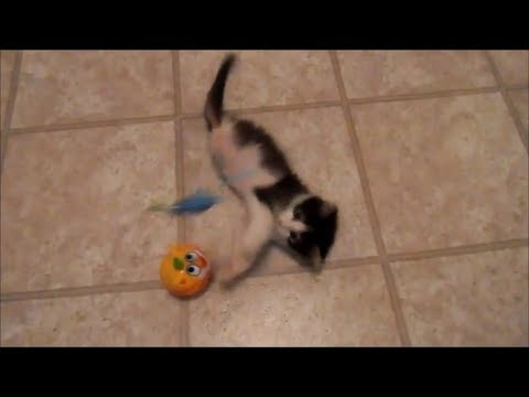 Anakin playing in the hallway & meeting Trixie, Kitten missing back legs