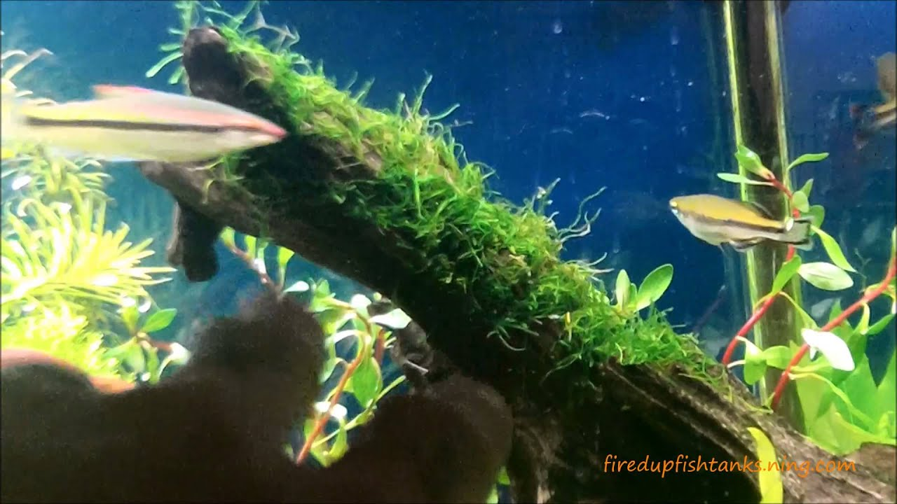 How to tie moss to driftwood...Java moss on driftwood - YouTube