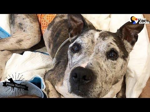 Senior Dog's Family Treasures Every Single Day With Him | The Dodo Pittie Nation en streaming