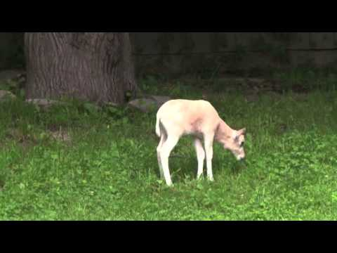 Raw: Rare Antelope Born at Illinois Zoo