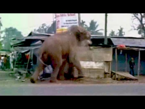 Caught on video, A wild elephant tears through a Bengal town