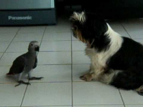 African Grey Parrot VS Dog Video