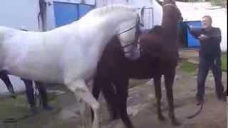 Proses Perkawinan Kuda