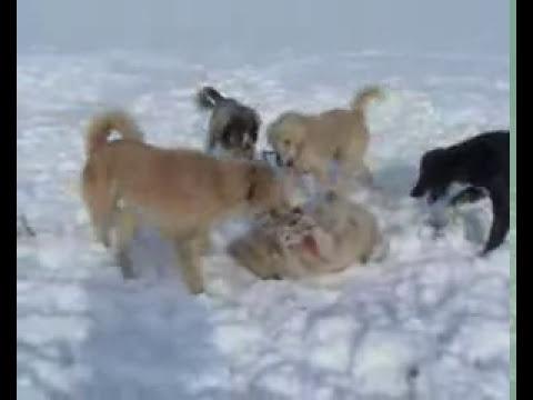 3 Псовая охота в Казахстане . Борзые (казахские  тазы) الصيد مع كلاب الصيد الكازاخستانية الطاساتг