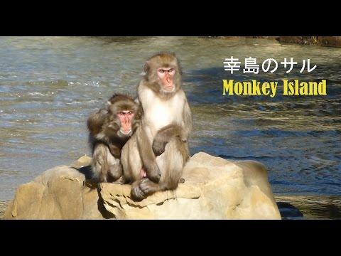 Japanese macaque potato washing